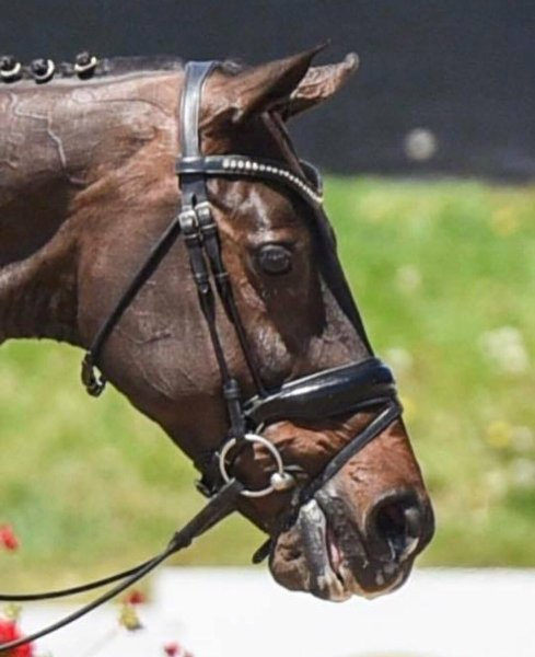 Image result for marilyn little noseband
